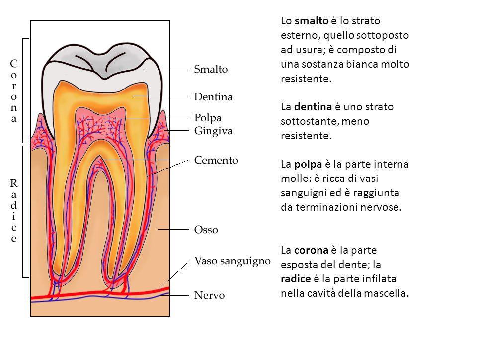 Lo smalto è lo strato esterno, quello sottoposto ad usura; è composto di una sostanza bianca molto resistente.