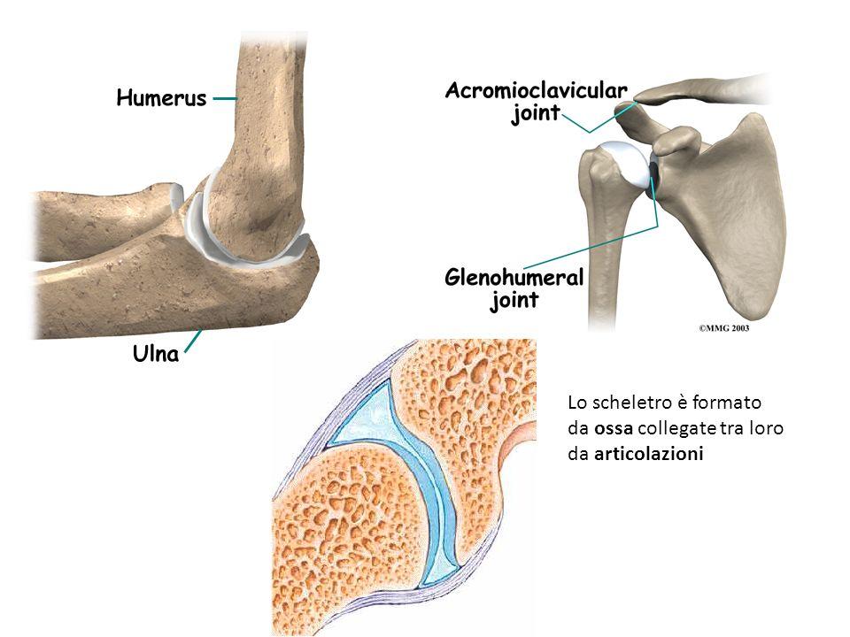 Lo scheletro è formato da ossa collegate tra loro da articolazioni