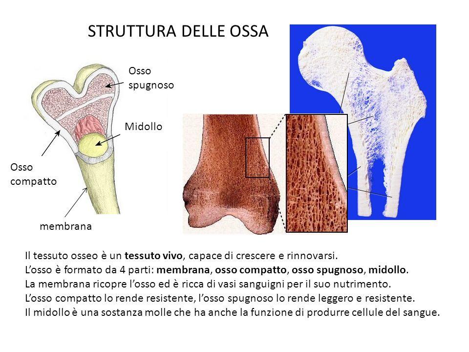 STRUTTURA DELLE OSSA Osso spugnoso Midollo Osso compatto membrana