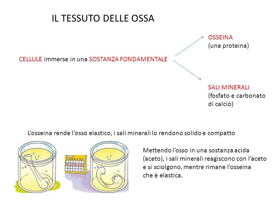 IL TESSUTO DELLE OSSA OSSEINA (una proteina)