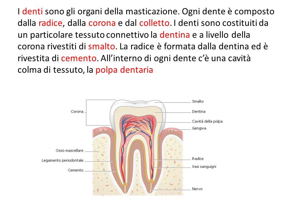 I denti sono gli organi della masticazione
