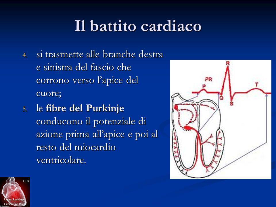 Il battito cardiaco si trasmette alle branche destra e sinistra del fascio che corrono verso l'apice del cuore;