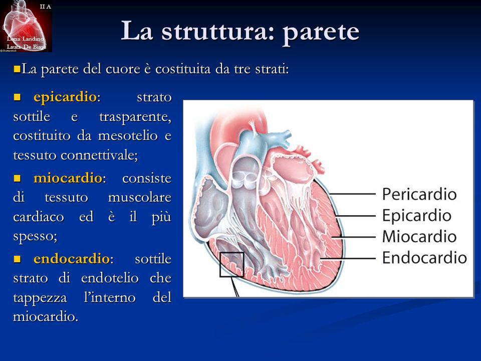La struttura: parete La parete del cuore è costituita da tre strati: