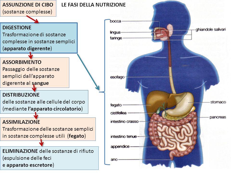 ASSUNZIONE DI CIBO (sostanze complesse) LE FASI DELLA NUTRIZIONE. DIGESTIONE.