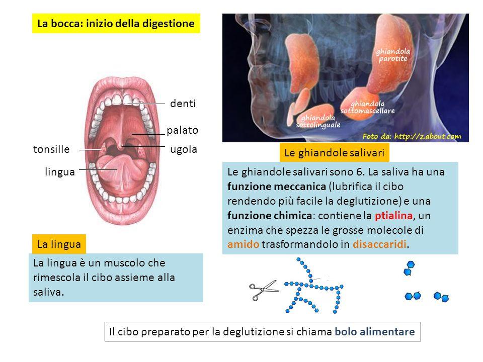 La bocca: inizio della digestione