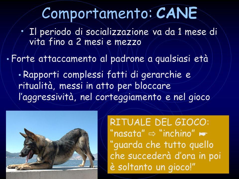 Comportamento: CANE Il periodo di socializzazione va da 1 mese di vita fino a 2 mesi e mezzo. Forte attaccamento al padrone a qualsiasi età.