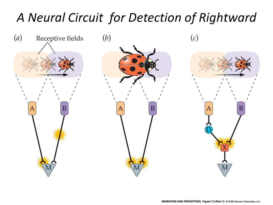 A Neural Circuit for Detection of Rightward Motion (Part 1)