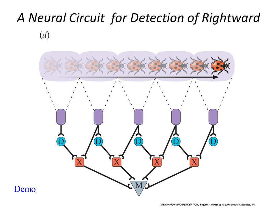 A Neural Circuit for Detection of Rightward Motion (Part 2)