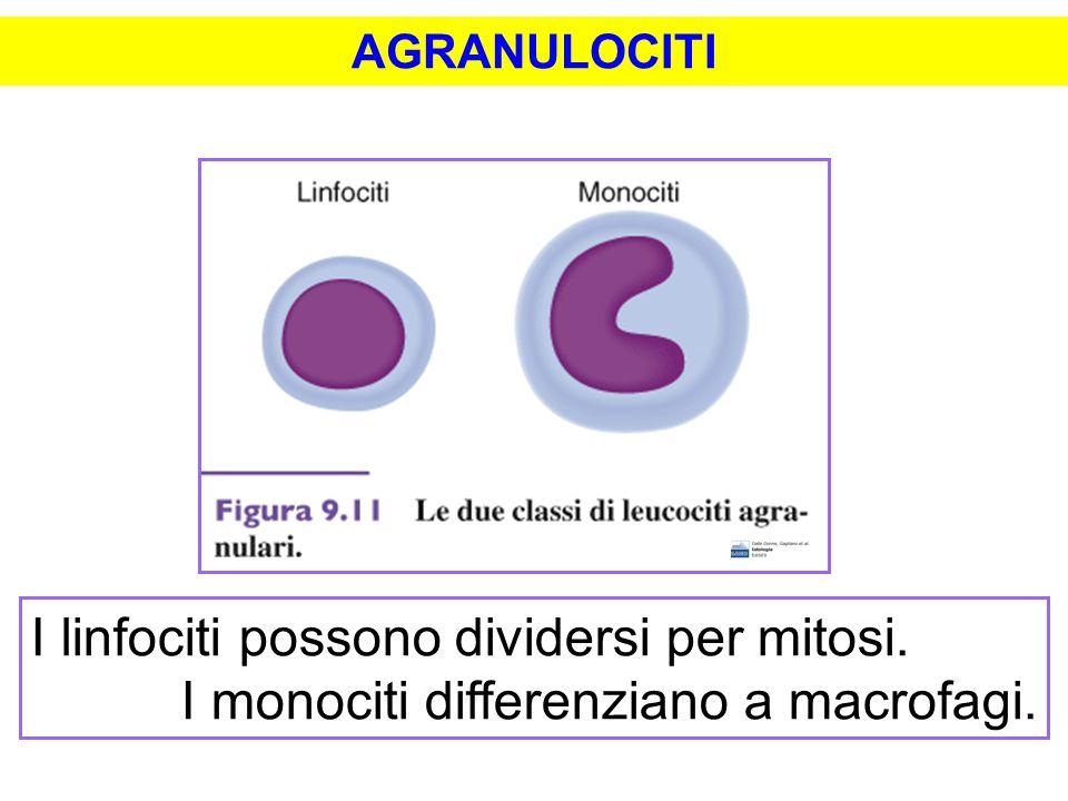 I linfociti possono dividersi per mitosi.