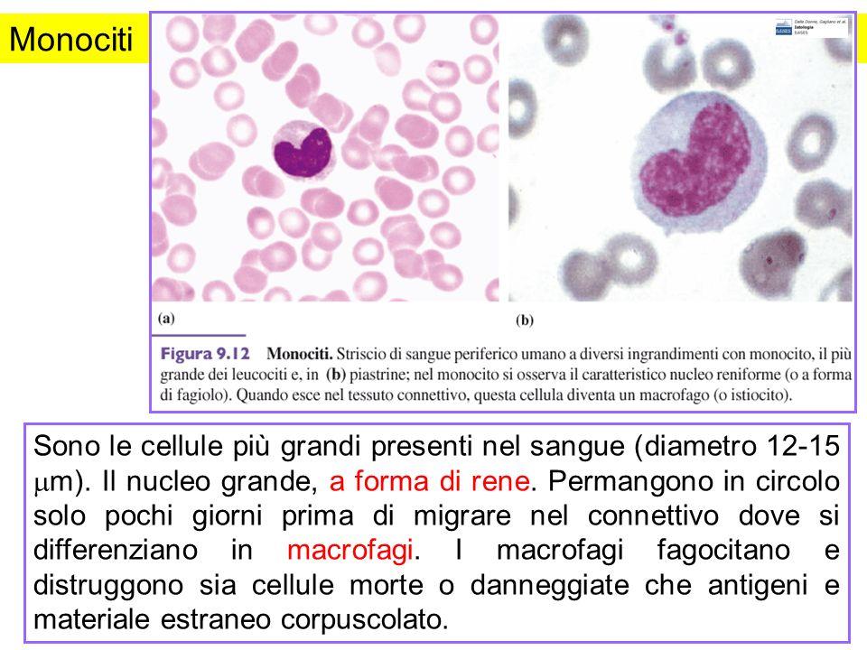 Monociti Figura da: Istologia. Dalle Donne et al., Edizioni EdiSES.