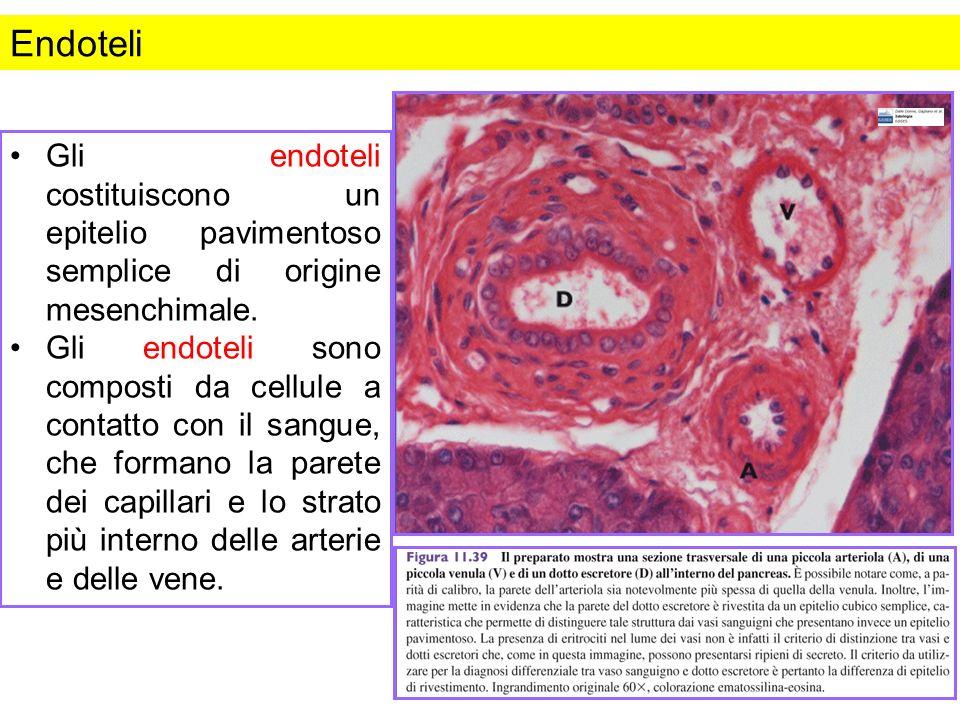 Endoteli Gli endoteli costituiscono un epitelio pavimentoso semplice di origine mesenchimale.