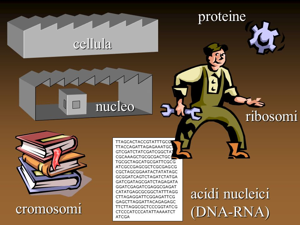 proteine cellula nucleo ribosomi acidi nucleici (DNA-RNA) cromosomi