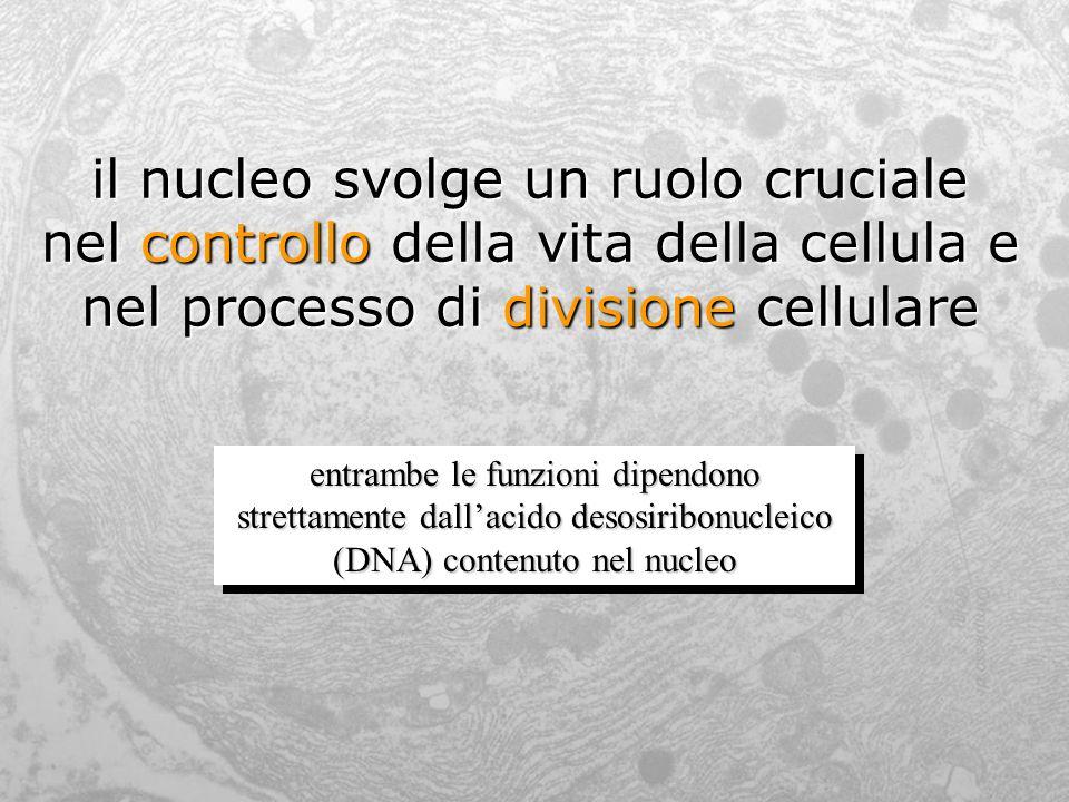 il nucleo svolge un ruolo cruciale nel controllo della vita della cellula e nel processo di divisione cellulare