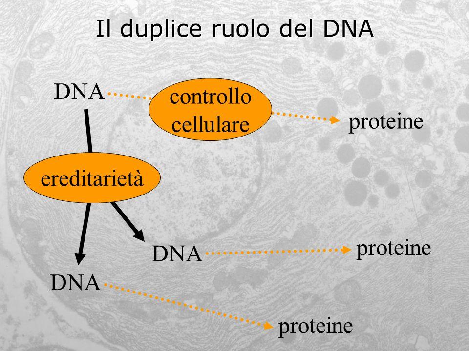 Il duplice ruolo del DNA