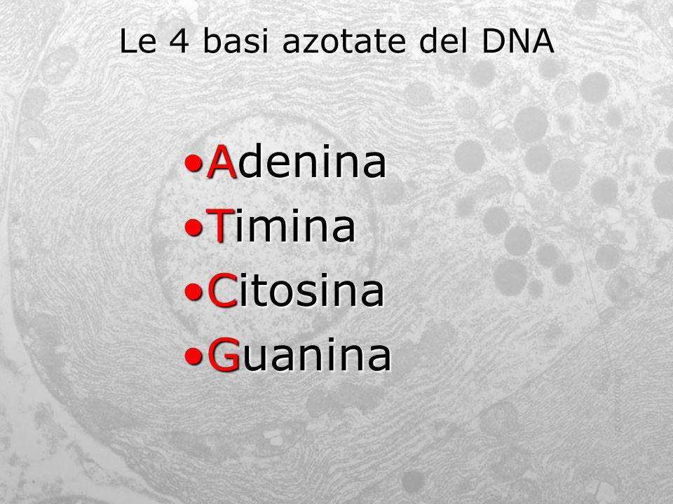 Le 4 basi azotate del DNA Adenina Timina Citosina Guanina