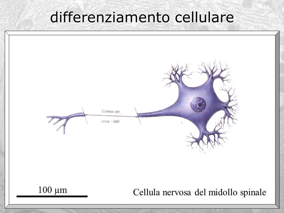 differenziamento cellulare