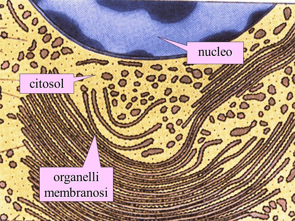 nucleo citosol organelli membranosi