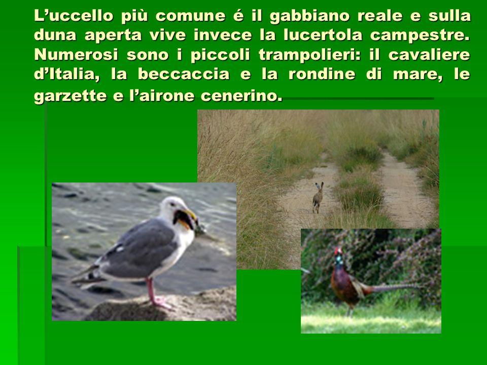 L'uccello più comune é il gabbiano reale e sulla duna aperta vive invece la lucertola campestre.
