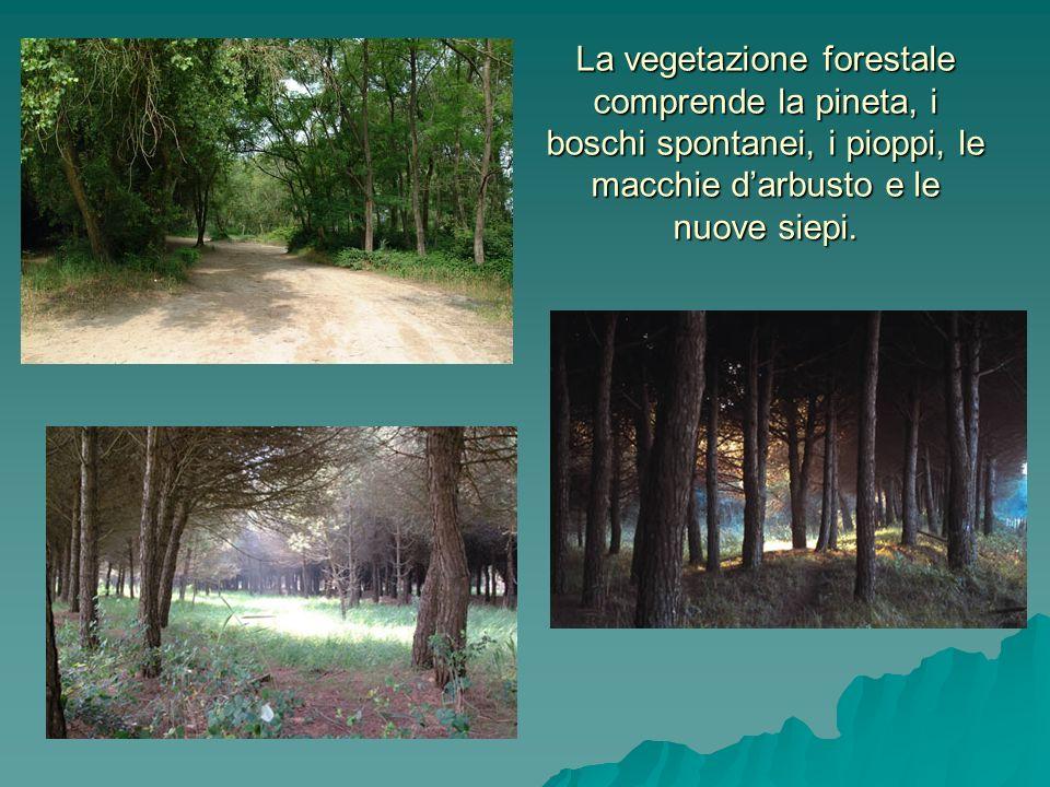La vegetazione forestale comprende la pineta, i boschi spontanei, i pioppi, le macchie d'arbusto e le nuove siepi.