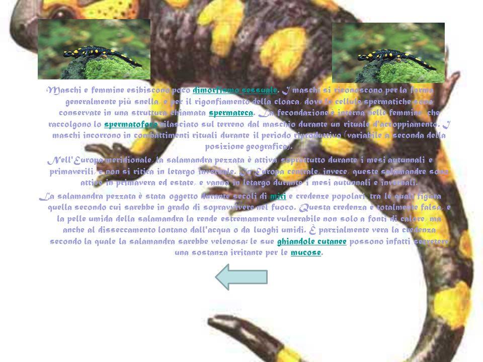 Maschi e femmine esibiscono poco dimorfismo sessuale