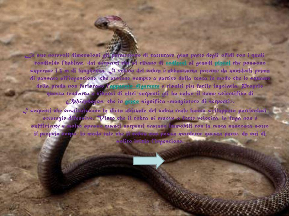 Le sue notevoli dimensioni gli permettono di catturare gran parte degli ofidi con i quali condivide l habitat, dai serpenti che si cibano di roditori ai grandi pitoni che possono superare i 3 m di lunghezza.