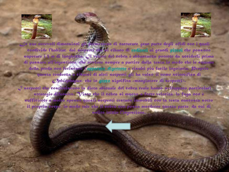 Le sue notevoli dimensioni gli permettono di catturare gran parte degli ofidi con i quali condivide l habitat, dai serpenti che si cibano di roditori ai grandi pitoni che possono superare i 3 m di lunghezza. Il veleno del cobra è abbastanza potente da ucciderli prima di passare all ingestione, che avviene sempre a partire dalla testa in modo che le squame della preda non feriscano l apparato digerente e risulti più facile ingoiarla. Proprio questa tendenza a cibarsi di altri serpenti gli ha valso il nome scientifico di Ophiophagus, che in greco significa «mangiatore di serpenti».