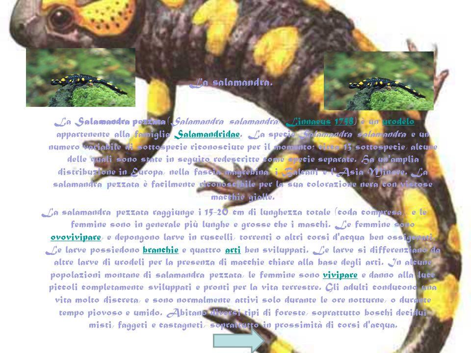 La salamandra.