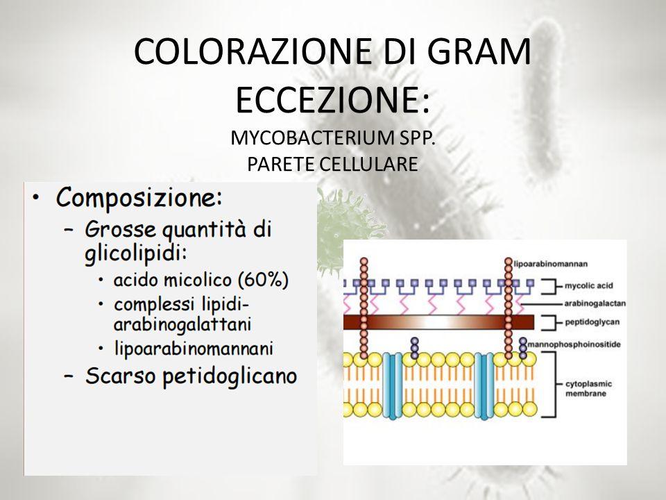 COLORAZIONE DI GRAM ECCEZIONE: MYCOBACTERIUM SPP. PARETE CELLULARE