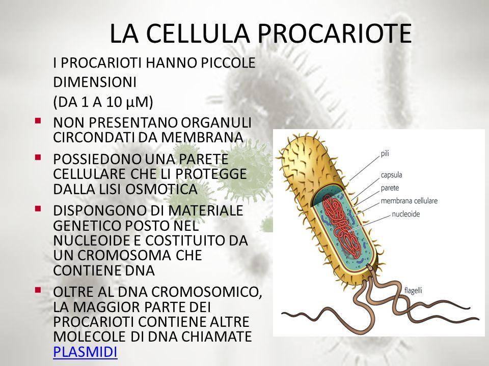 LA CELLULA PROCARIOTE I PROCARIOTI HANNO PICCOLE DIMENSIONI (DA 1 A 10 µM) NON PRESENTANO ORGANULI CIRCONDATI DA MEMBRANA.