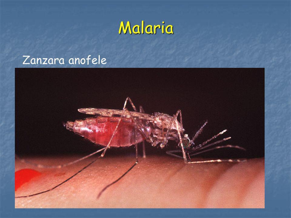 Malaria Zanzara anofele