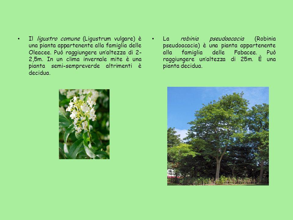 Il ligustro comune (Ligustrum vulgare) è una pianta appartenente alla famiglia delle Oleacee. Può raggiungere un'altezza di 2-2,5m. In un clima invernale mite è una pianta semi-sempreverde altrimenti è decidua.