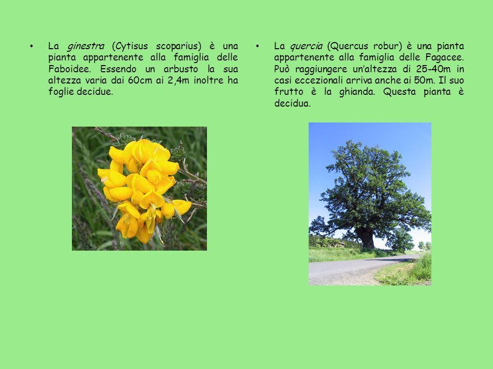 La ginestra (Cytisus scoparius) è una pianta appartenente alla famiglia delle Faboidee. Essendo un arbusto la sua altezza varia dai 60cm ai 2,4m inoltre ha foglie decidue.