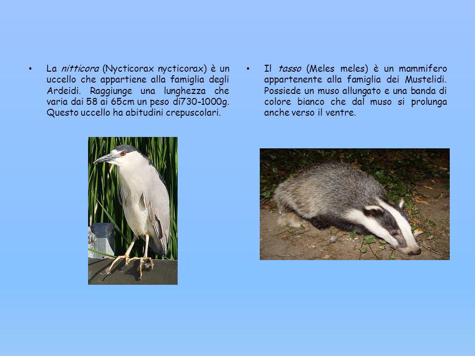 La nitticora (Nycticorax nycticorax) è un uccello che appartiene alla famiglia degli Ardeidi. Raggiunge una lunghezza che varia dai 58 ai 65cm un peso di730-1000g. Questo uccello ha abitudini crepuscolari.