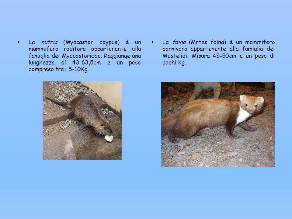 La nutria (Myocastor coypus) è un mammifero roditore appartenente alla famiglia dei Myocastoridae. Raggiunge una lunghezza di 43-63,5cm e un peso compreso tra i 5-10Kg.