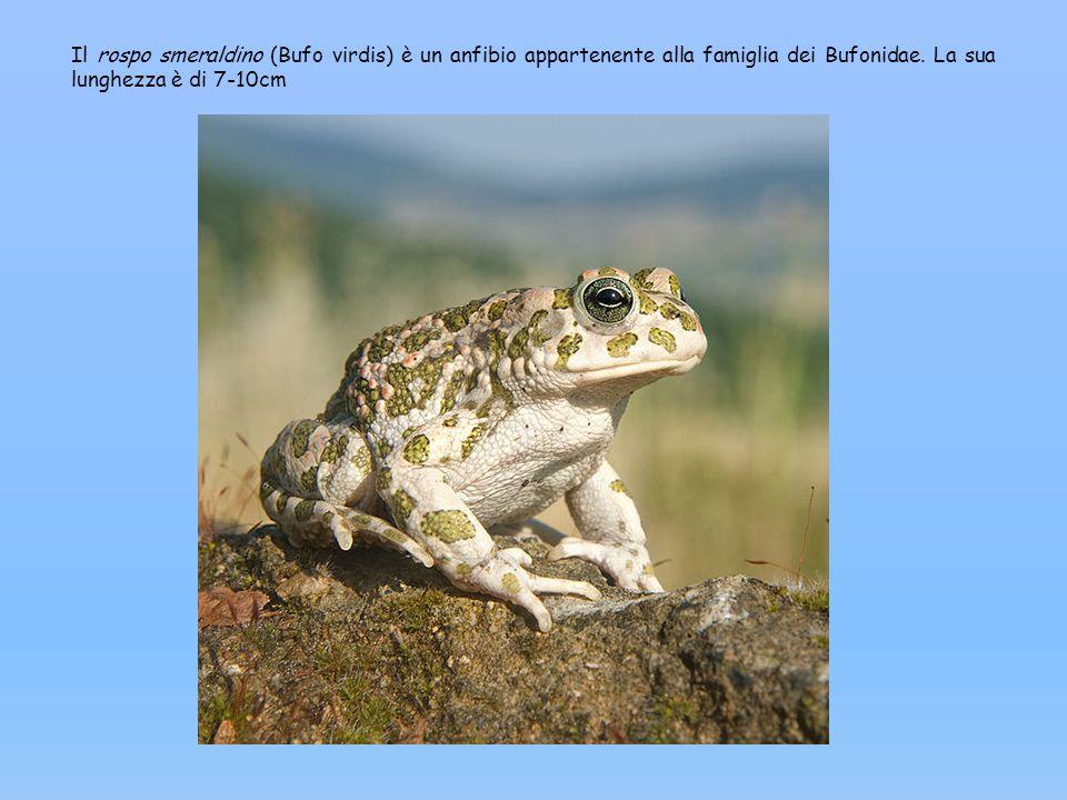 Il rospo smeraldino (Bufo virdis) è un anfibio appartenente alla famiglia dei Bufonidae.