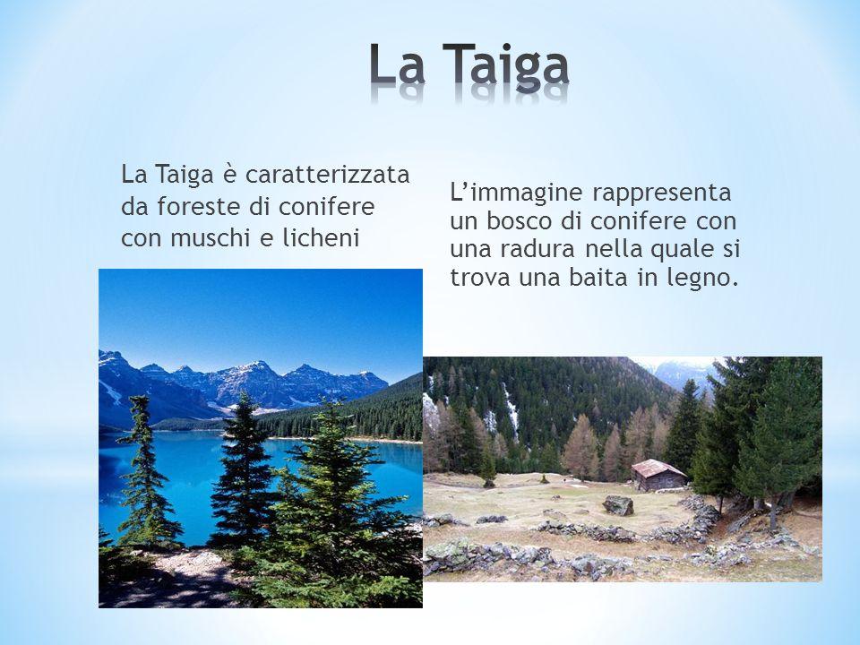 La Taiga La Taiga è caratterizzata da foreste di conifere con muschi e licheni.
