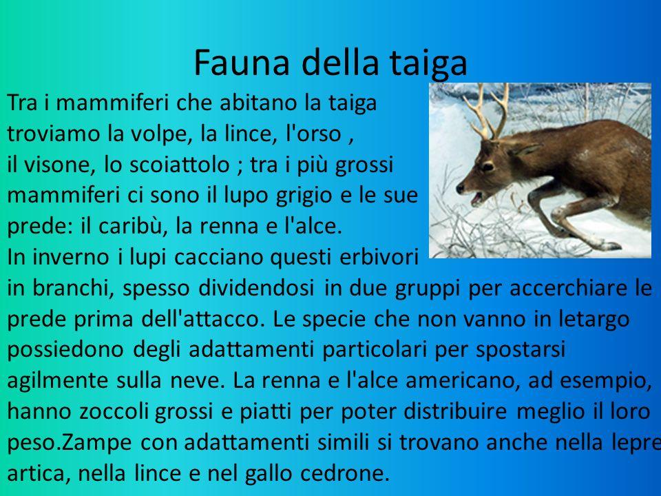 Fauna della taiga Tra i mammiferi che abitano la taiga