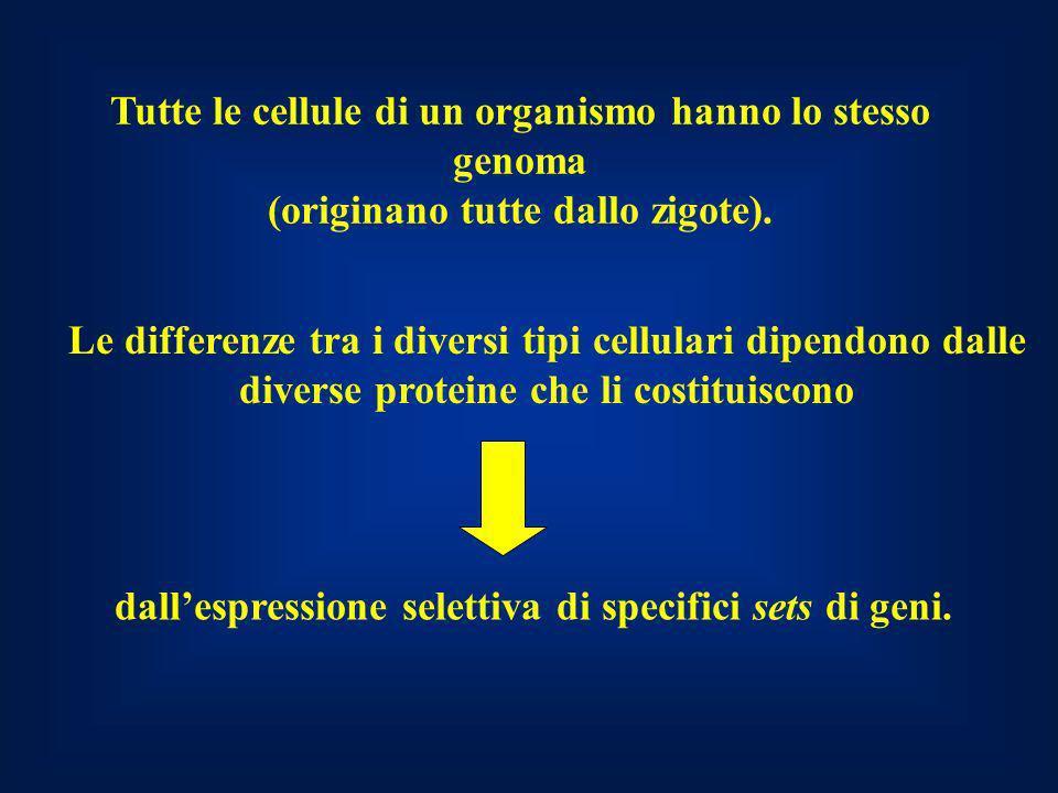 Tutte le cellule di un organismo hanno lo stesso genoma