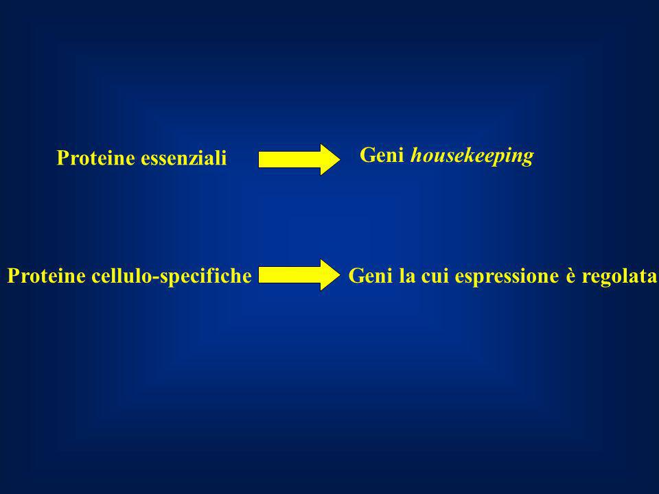 Proteine essenziali Geni housekeeping. Proteine cellulo-specifiche.