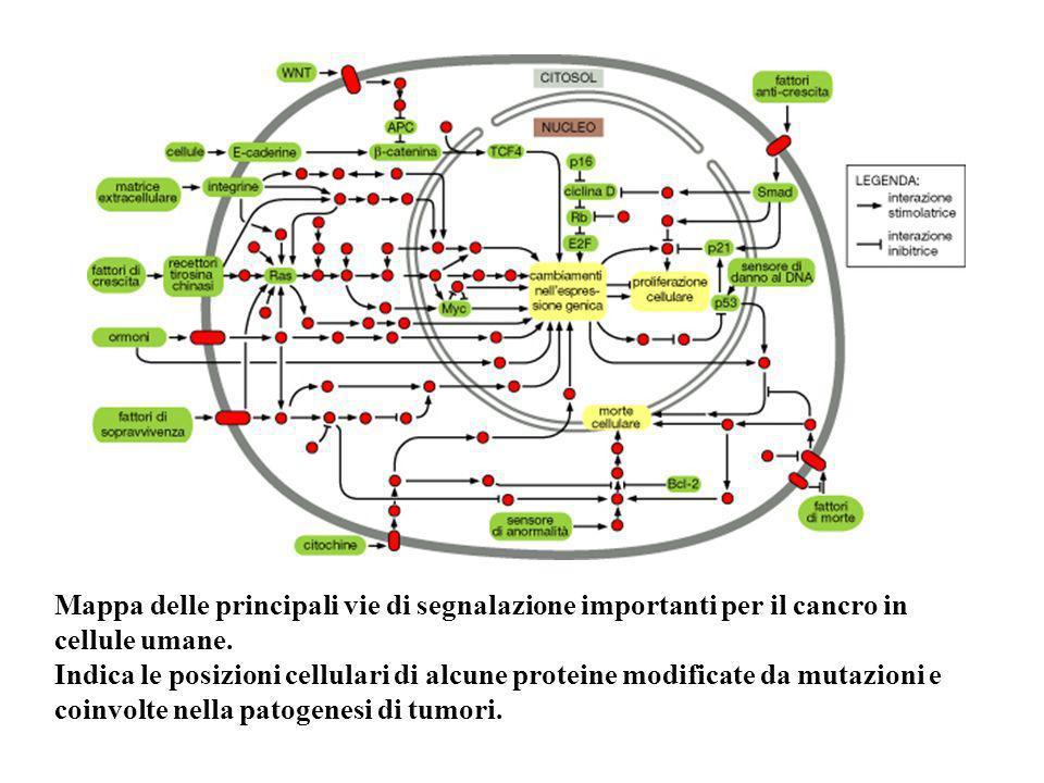 Mappa delle principali vie di segnalazione importanti per il cancro in cellule umane.