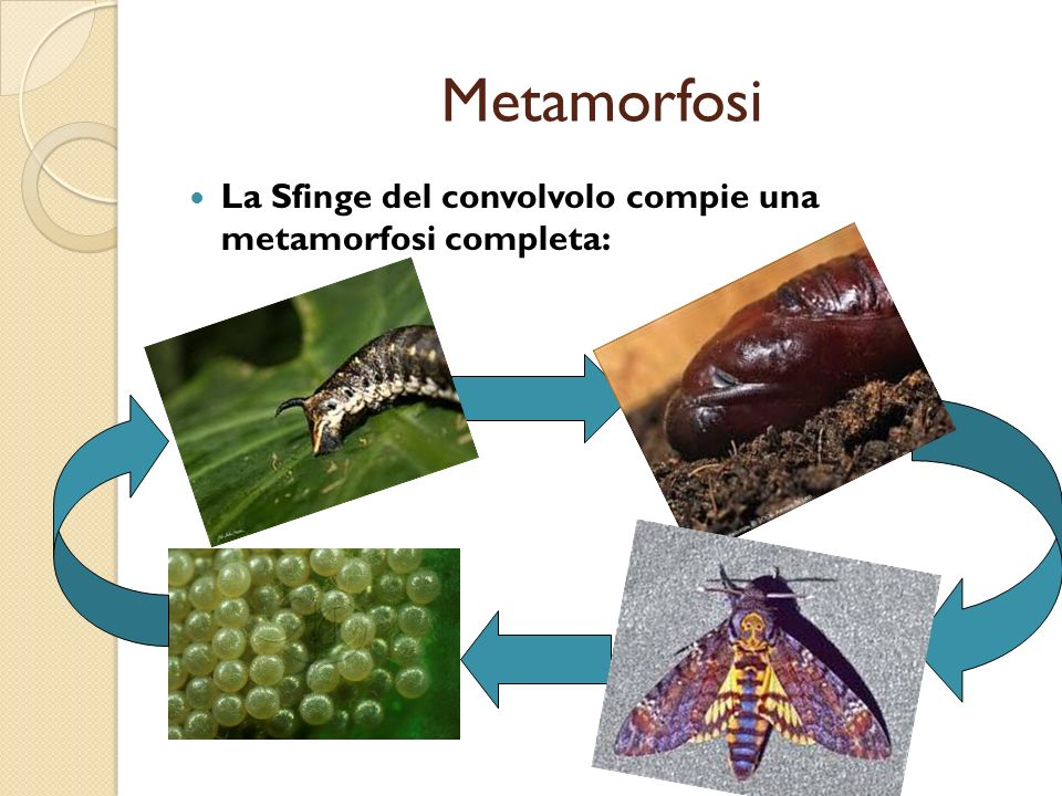 Metamorfosi La Sfinge del convolvolo compie una metamorfosi completa:
