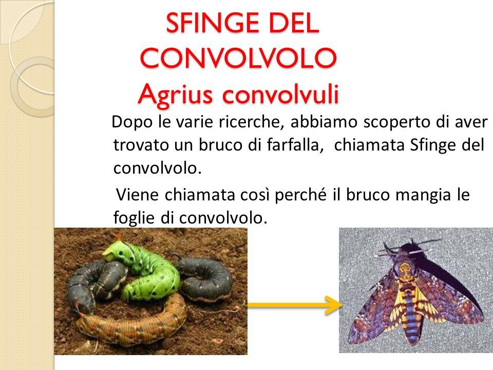 SFINGE DEL CONVOLVOLO Agrius convolvuli