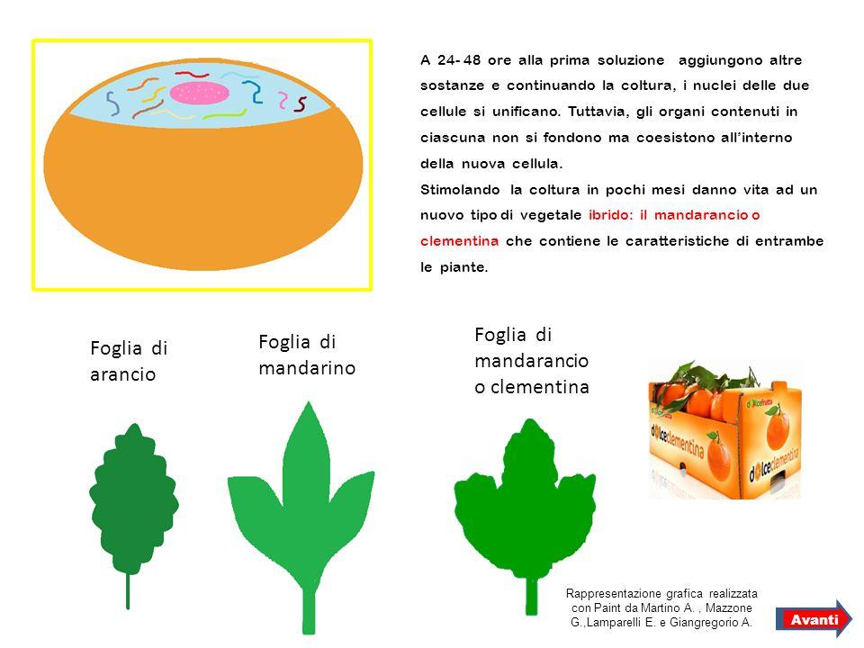 Foglia di mandarancio o clementina Foglia di mandarino