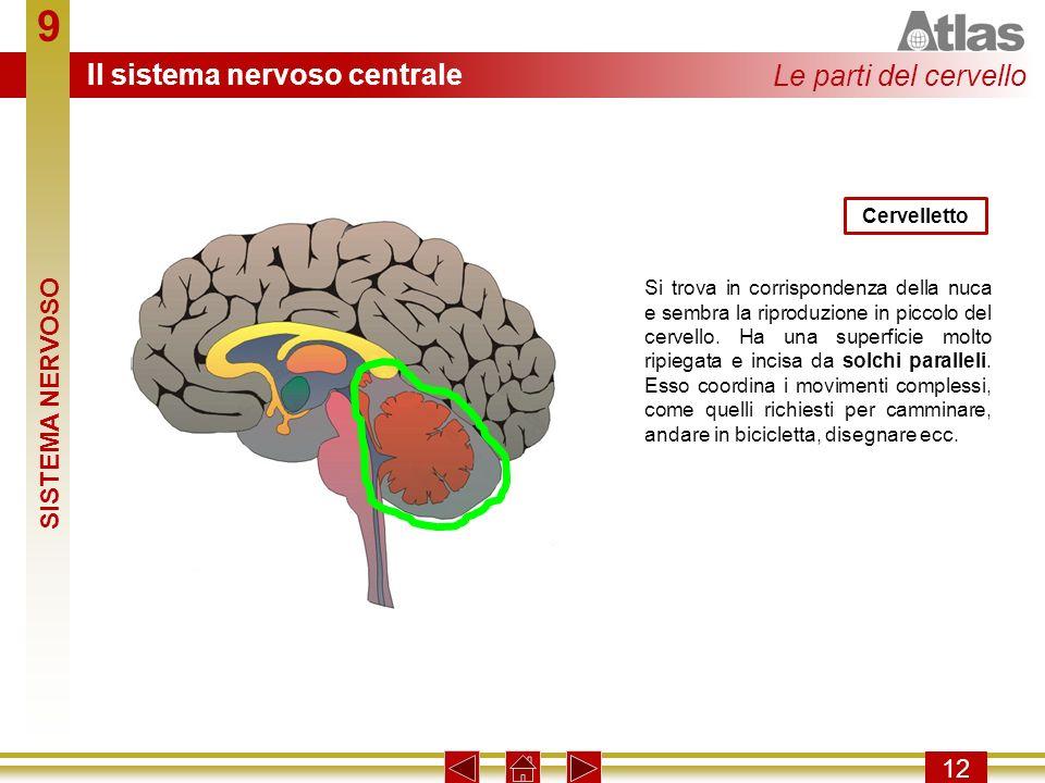 9 Il sistema nervoso centrale Le parti del cervello SISTEMA NERVOSO 12