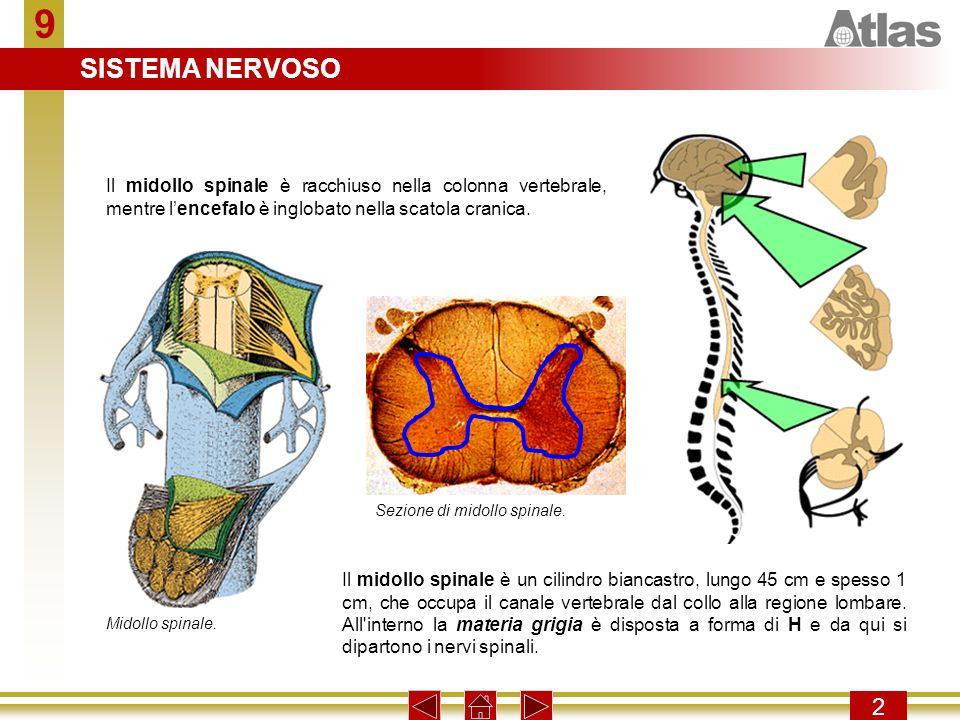 9 SISTEMA NERVOSO. Il midollo spinale è racchiuso nella colonna vertebrale, mentre l'encefalo è inglobato nella scatola cranica.