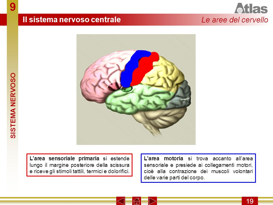 9 Il sistema nervoso centrale Le aree del cervello SISTEMA NERVOSO 19