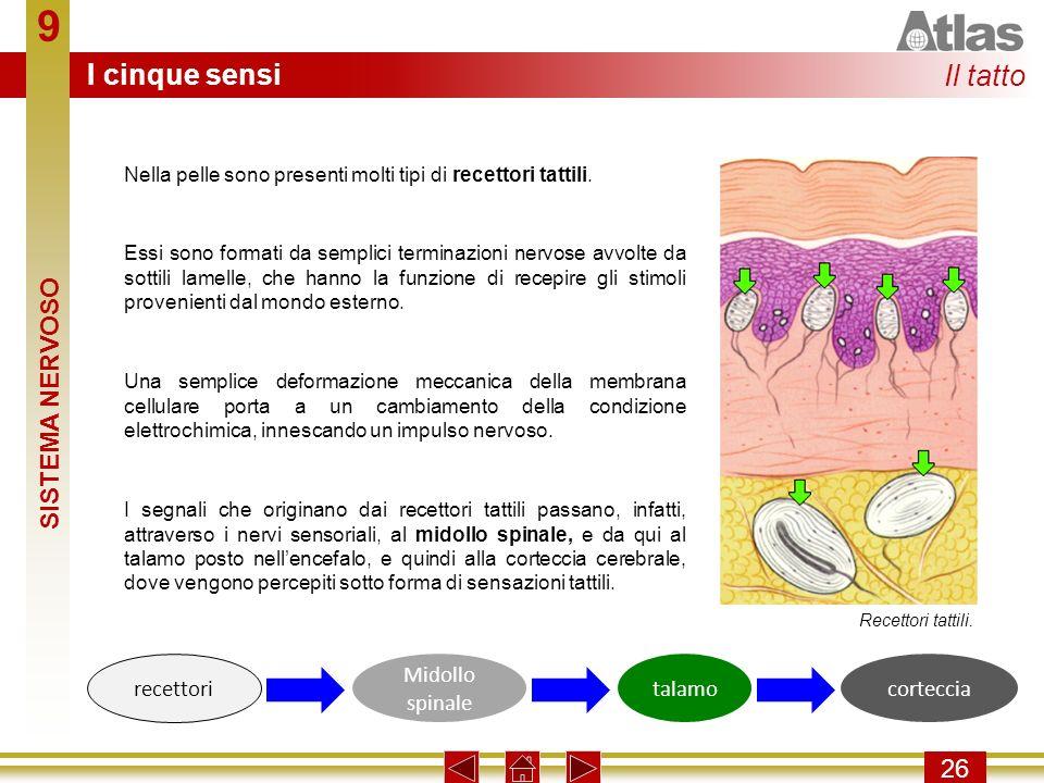 9 I cinque sensi Il tatto SISTEMA NERVOSO 26 recettori Midollo spinale