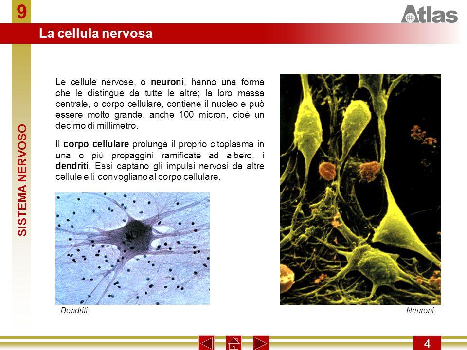 9 La cellula nervosa SISTEMA NERVOSO 4