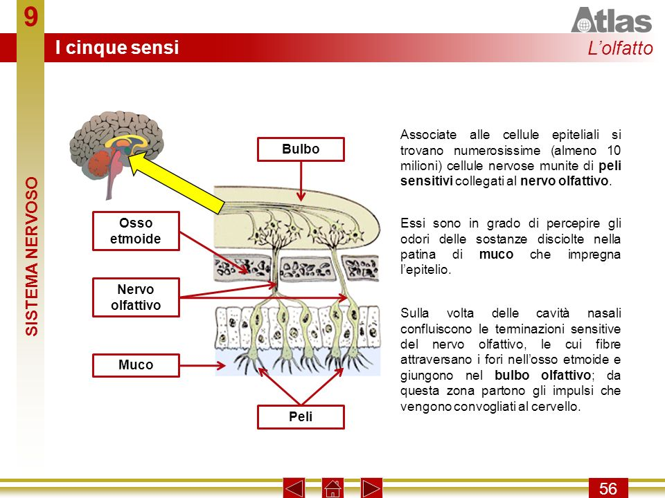 9 I cinque sensi L'olfatto SISTEMA NERVOSO 56