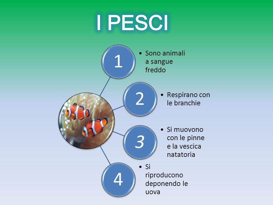 I PESCI 1 Sono animali a sangue freddo 2 Respirano con le branchie 3